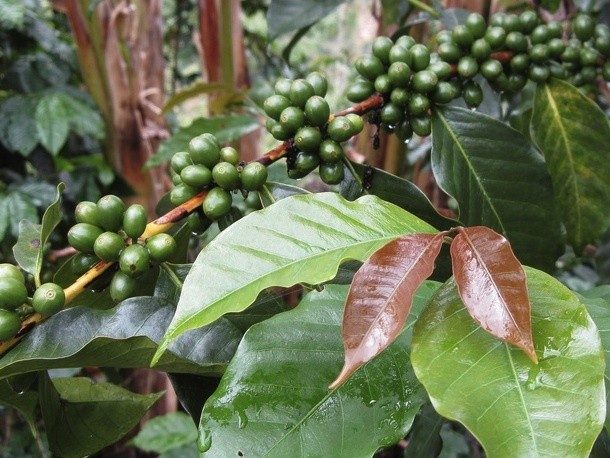 Why Coffee Varieties Are Important