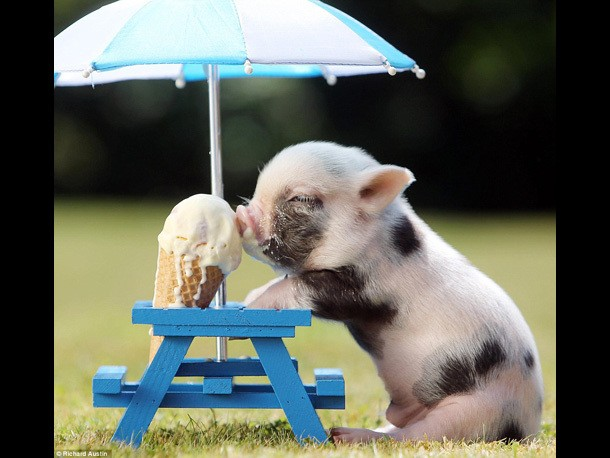 Piglet with Ice Cream: This is the Cutest Photograph You Will Ever See