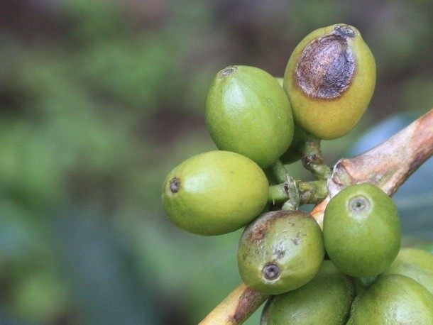 World Coffee Research Aims to Prevent Coffee Extinction