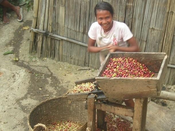 Coffee Varieties: Timor Hybrid