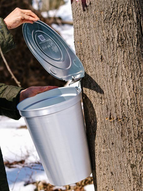 Foraged Flavor: How to Tap Maple Trees (And What to Do With the Sap)