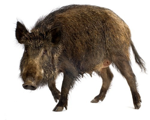 Why You Should be Eating More Wild Pigs Right Now