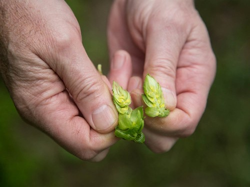 Behind the Scenes at America's Largest Contiguous Hop Farm