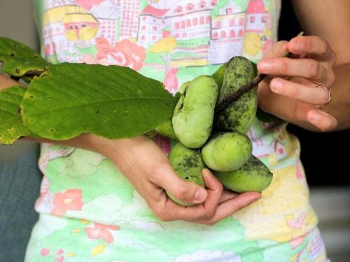 Pawpaws: America's Best Secret Fruit