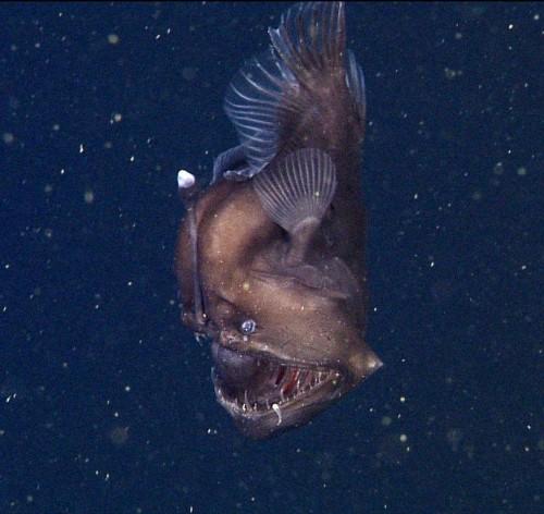 Rare 'black seadevil' anglerfish caught on film in Monterey Bay