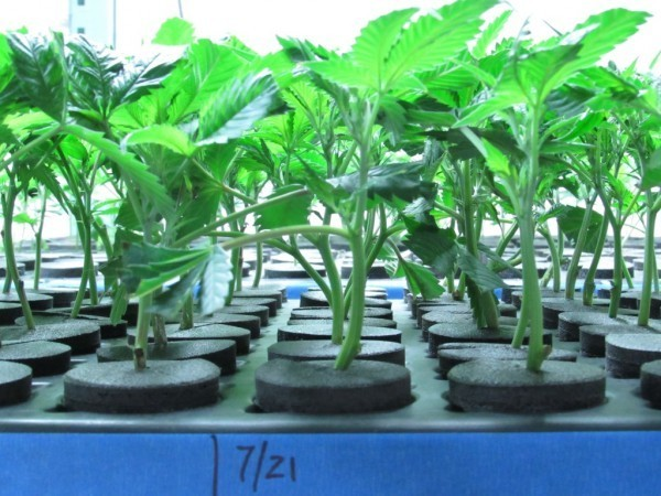 Morgan Stanley: rich investors wary of legal marijuana
