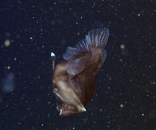 Rare 'black seadevil' anglerfish caught on film in Monterey Bay
