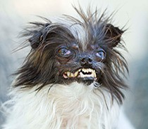 Meet this year's contestants for World's Ugliest Dog