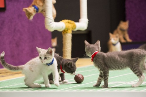 The Kitten Bowl is coming! The Kitten Bowl is coming!
