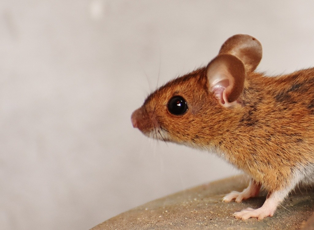 5 Signs of a Mice Infestation That You Should Know
