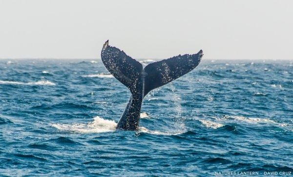 Amazing Monterey orca, humpback sightings (photo gallery & video)