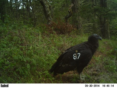 California condor spotted in San Mateo Co. for first time in 110 years