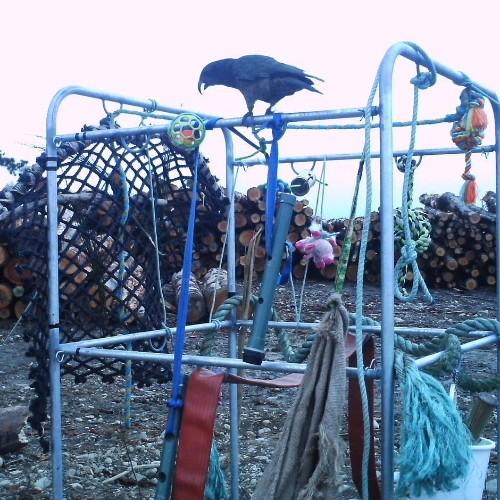 Freche Spaßvögel: Warum Neuseeland jetzt Spielplätze für Papageien baut