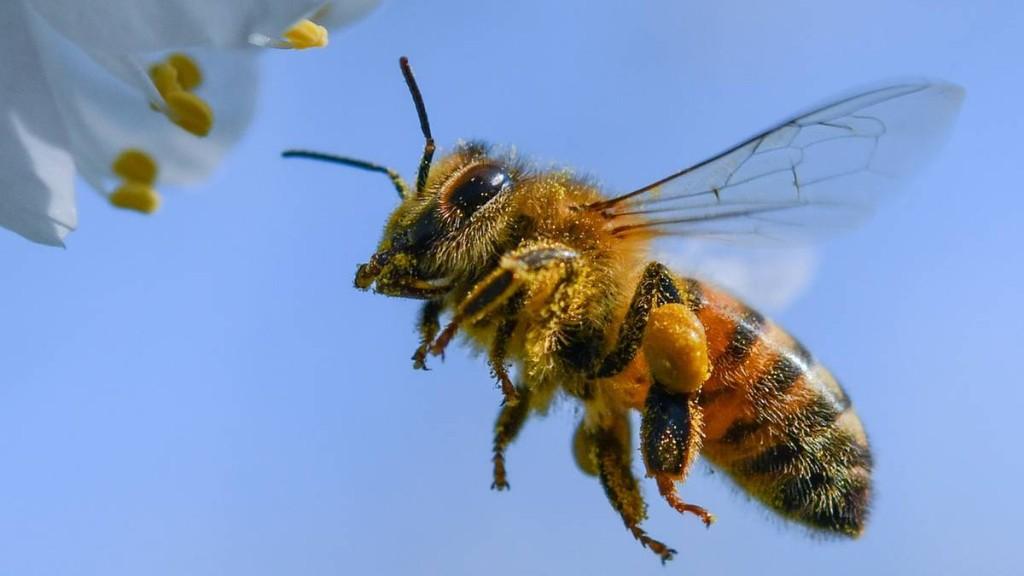 Mit genmanipulierten Bakterien sollen Bienen widerstandsfähiger werden - und flotter