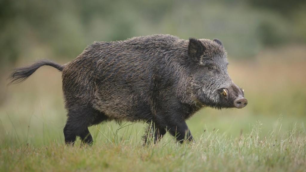 Laptop geklaut: Nackter Badegast jagt Wildschwein hinterher
