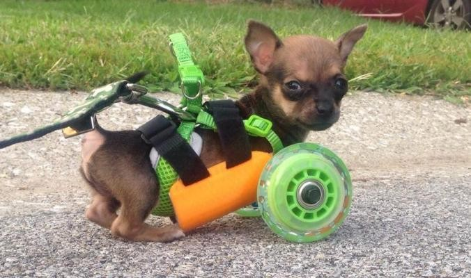 TurboRoo, The Chihuahua With No Front Legs, Can Walk Again Thanks To 3D Printing