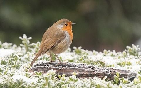 Why your winter robin could come from further than you think