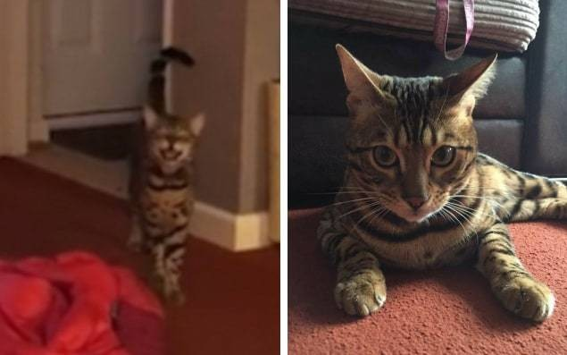 Purrfect harmony: Maximus the cat sings along with its owner