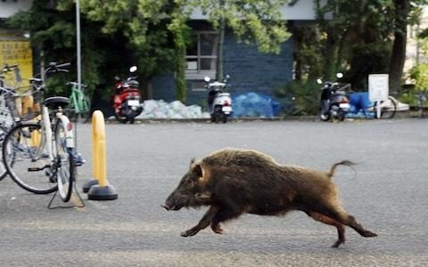 Ageing Japanese towns overrun by wild boars