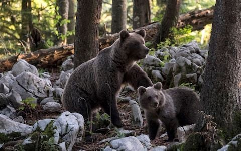 If you go down to the woods today... How hungry brown bears took over Slovenia's forests and now face being shot before they reach the villages