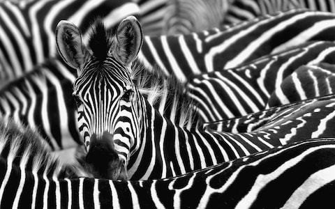 Zebra stripes work as an elaborate cooling system