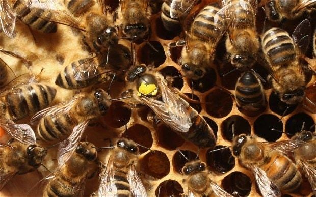 Bee colonies collapse 'as stressed young workers grow up too fast'