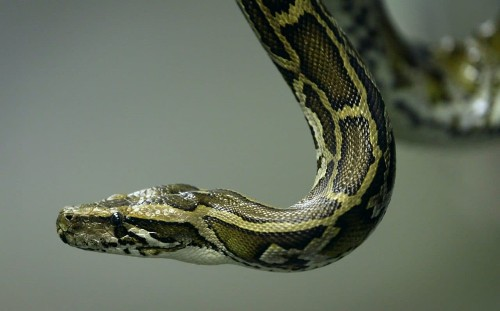 Hunters wage war on Burmese pythons in Florida Everglades