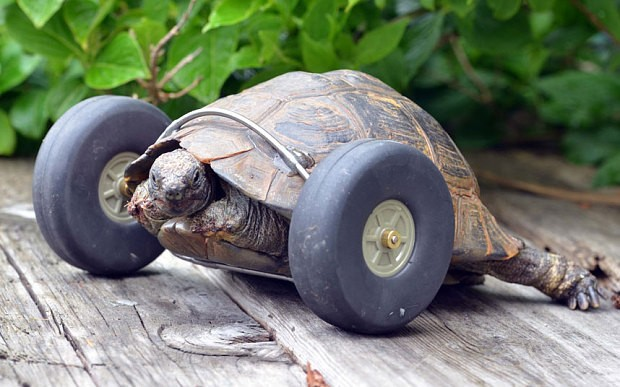 Tortoise, 90, gets wheels for legs after rat attack