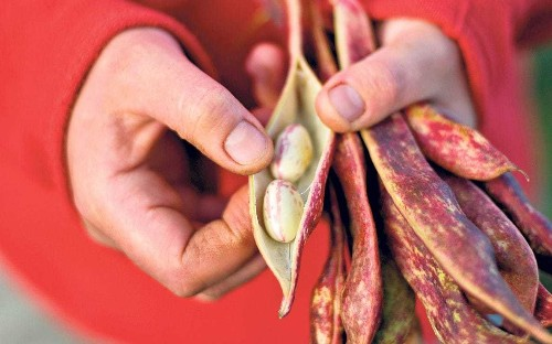 Spill the beans: how to grow, sow and harvest beautiful borlottis
