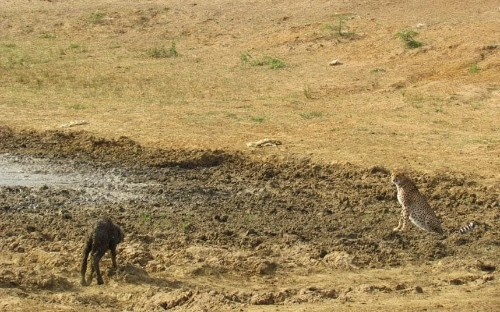 Baby buffalo rescued from mud - then runs into cheetah