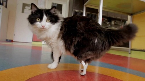 Amputee cats given bionic paws in groundbreaking surgery