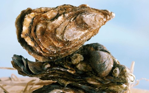 'Like kissing the sea': why we should celebrate our native oysters