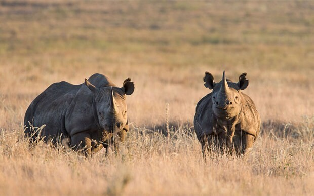 Prince William: Elephants and rhinos will be extinct in the wild within a few decades