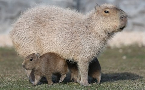 Dozen capybaras die at Heathrow Airport after being kept in cramped conditions with no water for 56 hours
