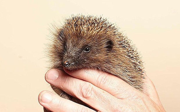 Britain's hedgehogs at risk from unpredictable winter weather