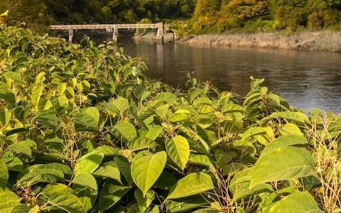Floods are spreading Japanese Knotweed, warns Wildlife Trust