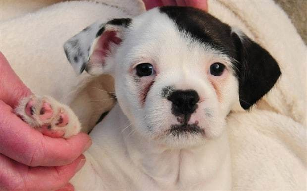 Meet Patch the dog who looks like Adolf Hitler
