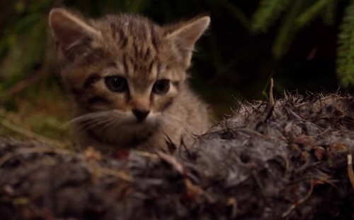 New hope for world's rarest feline with discovery of two Scottish wildcat kittens