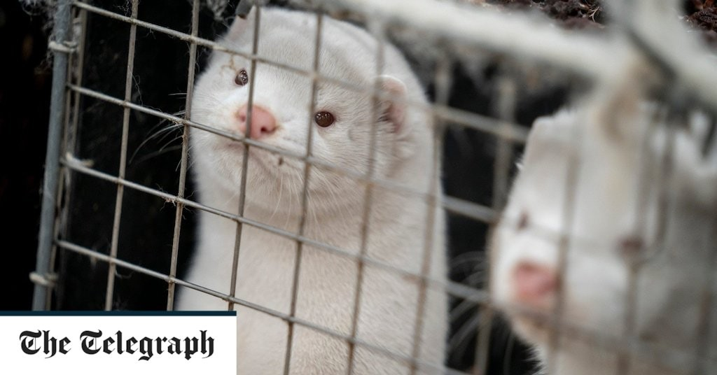 Denmark faces new horror as bodies of culled mink rise from mass graves