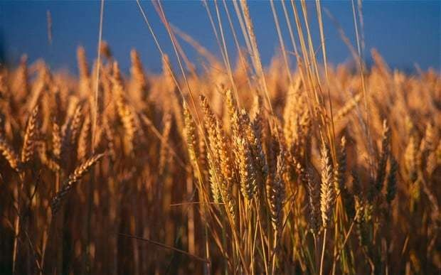 'Warrior' fungus could wipe out a quarter of British wheat crop