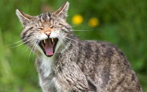 Scottish wildcats bred in captivity to be released into wild for first time