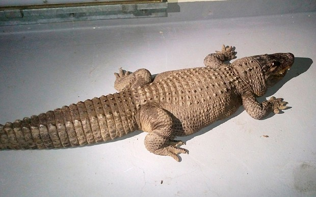 Pet alligator seized by Los Angeles authorities