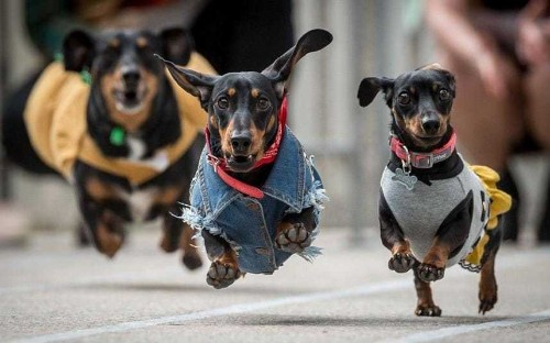 Rise of the micro-dog: as British homes get smaller so do our pets