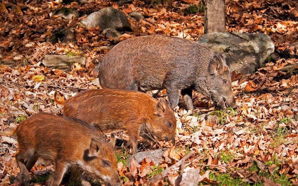 Feral hogs wreaking havoc across Canada