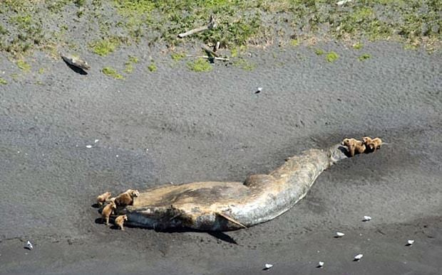 Bears scavenge huge whale carcasses on Alaska coast