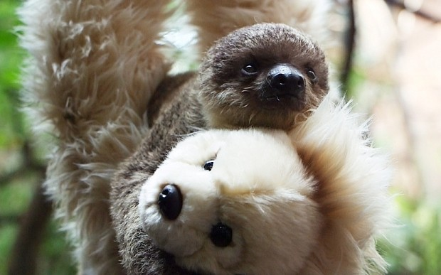 Baby sloth gets teddy as replacement mum at London Zoo