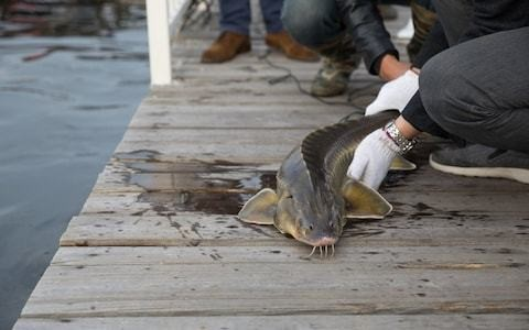China halts bridge project after 6,000 endangered fish die