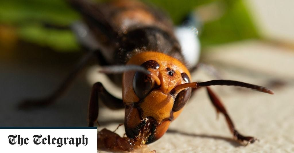 Asian murder hornets: Scientists discover first nest in US
