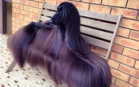 'World's prettiest dog' becomes social media sensation because of her gorgeous hair