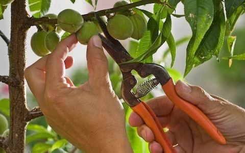 How to thin your fruit trees in early summer for a better crop